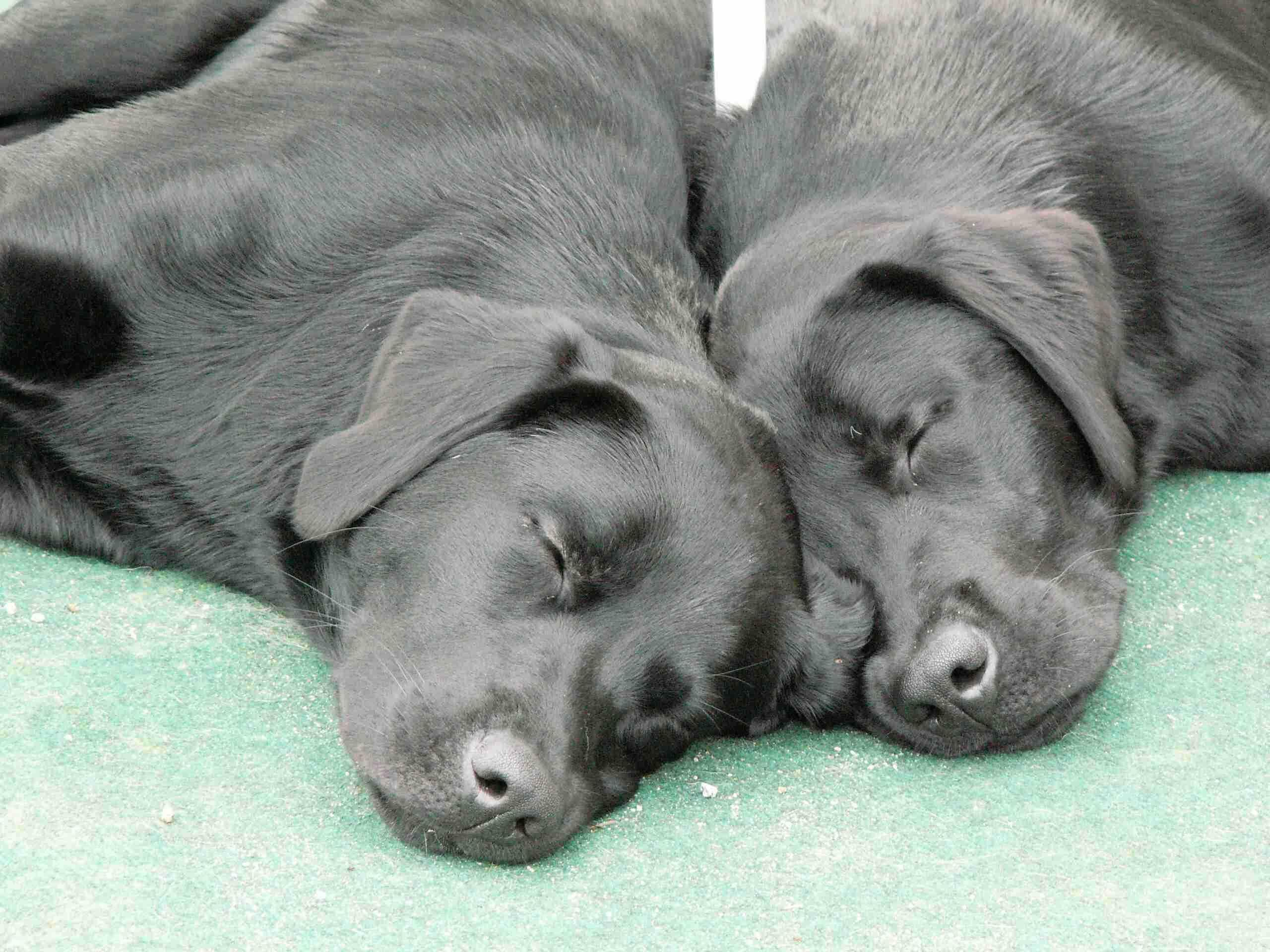 Labradors Vom Liebenswerten Strolch Welpen Aus Einer Zucht In
